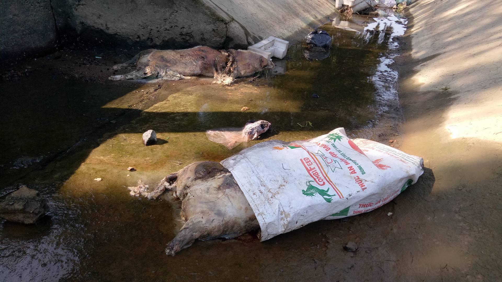 Lợn chết được vứt vào bao thả trên kênh bốc mùi hôi thối.