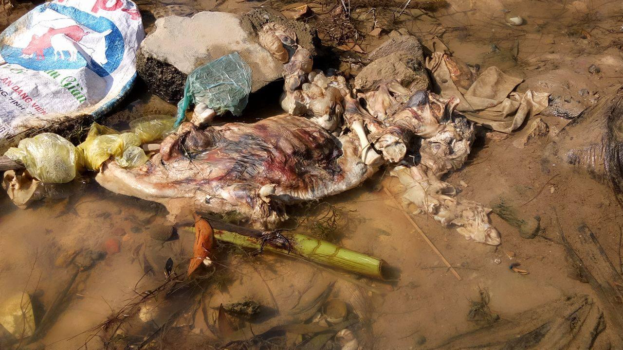 Xác lợn thậm chí được vứt thẳng xuống dòng kênh gây ô nhiễm.