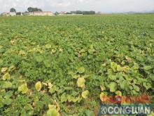 Huyện Nho Quan (Ninh Bình): Hiệu quả từ mô hình Tích tụ ruộng đất