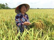 """Sản xuất lúa gạo hữu cơ: Lợi ích """"kép"""""""