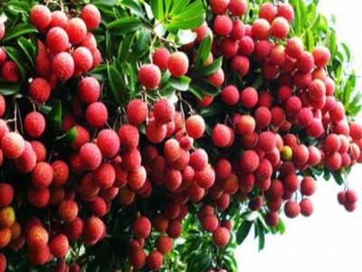 Vải thiều, cây ăn quả chủ lực của tỉnh Hải Dương
