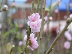 Hoa đào nở rộ tưng bừng trước tết Nguyên Đán