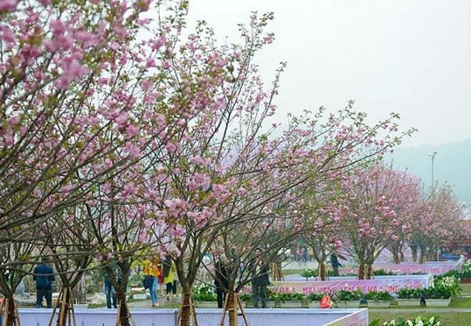 Sắp diễn ra Lễ hội hoa anh đào Nhật Bản - Hà Nội 2019