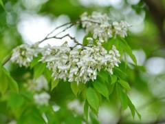 Hà Nội đẹp mơ màng mùa hoa sưa tháng 3