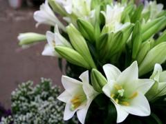 Những loài hoa đẹp nhưng ảnh hưởng không tốt đến phụ nữ đang mang thai