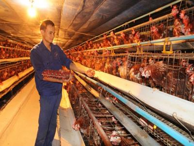 Xây dựng chuỗi liên kết tiêu thụ trứng gia cầm: Doanh nghiệp chưa mặn mà
