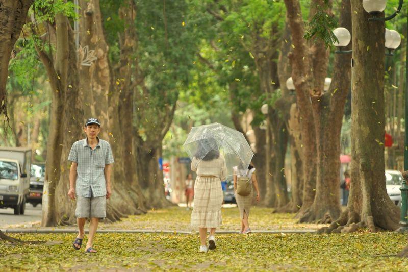 Mùa lá sấu rụng trên đường phố Hà Nội