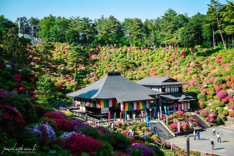 Thảm đỗ quyên nở rộ quanh ngôi đền ở ngoại ô Tokyo