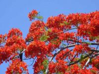 Hoa phượng đỏ - từ cái tên tới hình hài thành phố
