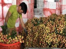 Thương nhân Trung Quốc sang Bắc Giang thu gom vải thiều