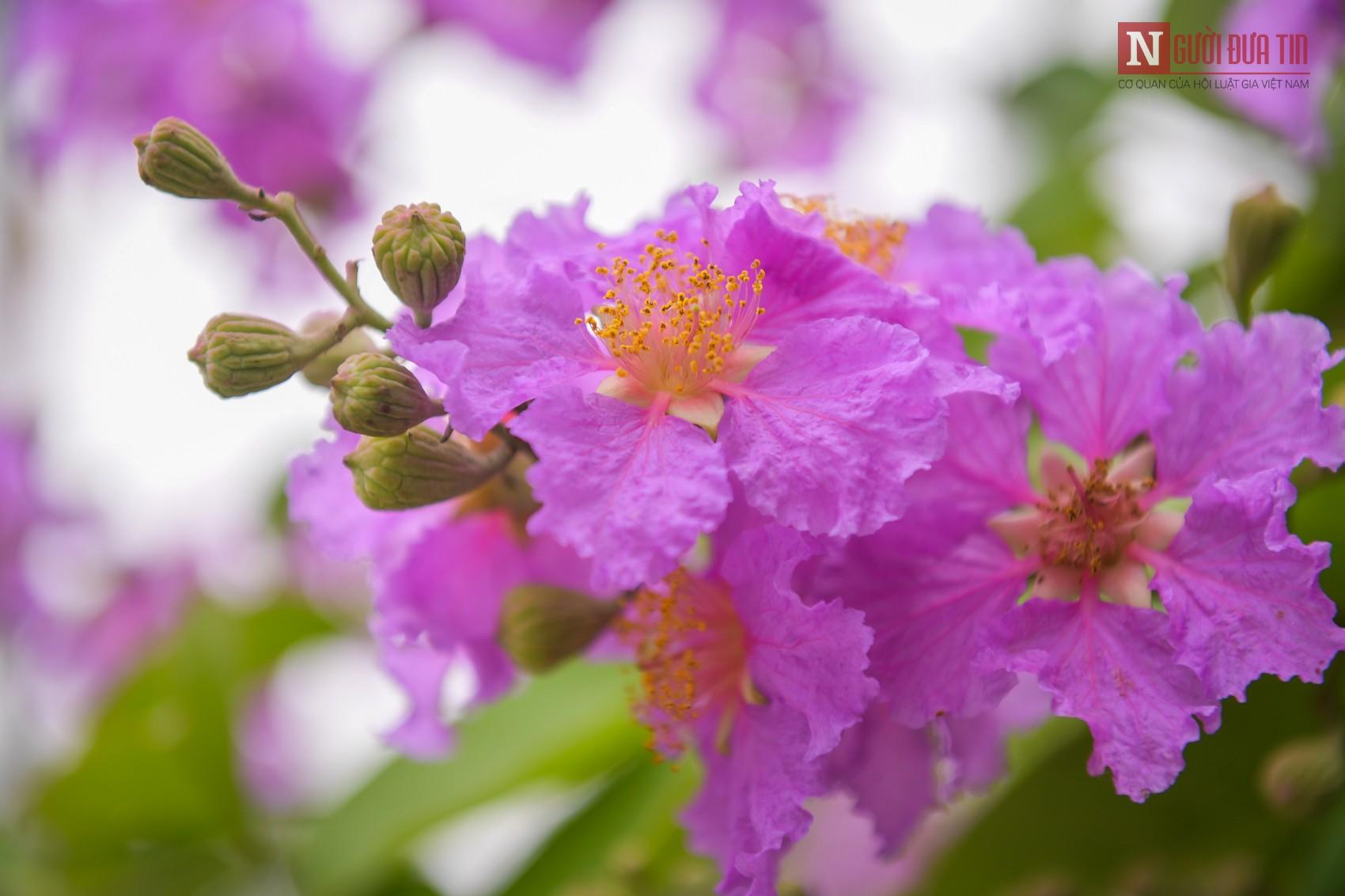 Nao lòng hoa bằng lăng nở tím đường phố Hà Nội