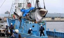 Tàu Nhật Bản ra khơi săn cá voi thương mại sau 30 năm