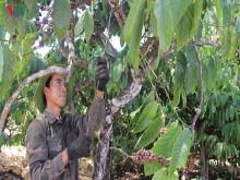 Xuất khẩu cà phê giảm, chỉ đạt 1,57 tỷ USD