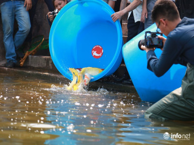 Thả cá Koi Nhật Bản xuống sông Tô Lịch và Hồ Tây để kiểm tra chất lượng nước