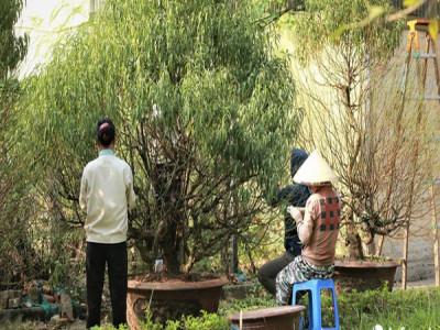 Đào Nhật Tân 'xuống phố' sớm, nhiều tuyến đường Hà Nội đã rộn ràng sắc Xuân