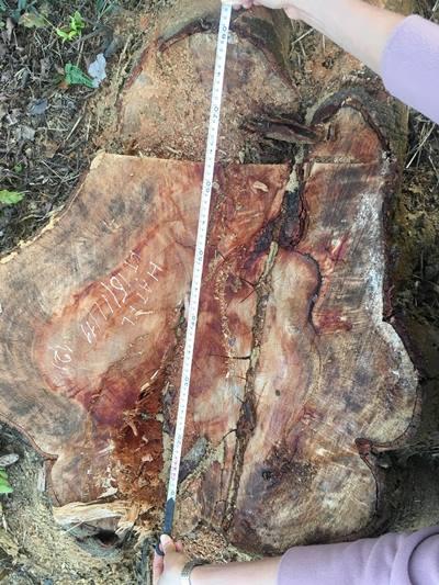 20 cây lim bị đốn hạ tại Thanh Hóa
