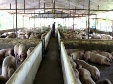 Ngành chăn nuôi ứng phó với CPTPP và EVFTA