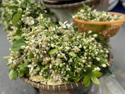 Hoa bưởi thơm ngát các con phố, giá tới nửa triệu đồng/kg