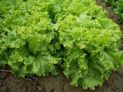 Khởi nghiệp thành công từ mô hình trồng rau công nghệ cao