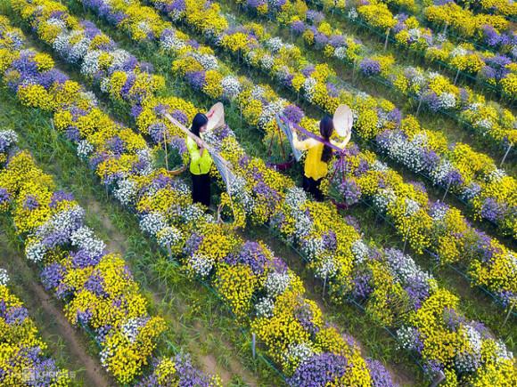 Đẹp mê mẩn cánh đồng hoa cúc miền Trung