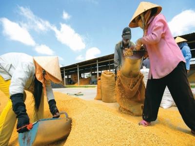 Xuất khẩu gạo nhiều lại lo?