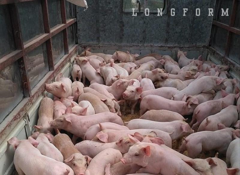 Giá lợn neo cao, ai đang hưởng lợi?