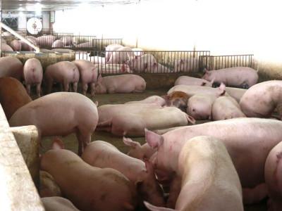 Không kìm nổi giá tăng mạnh, Bộ NN-PTNT quyết nhập lợn sống về giết mổ