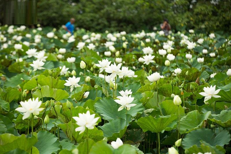 Đầm hoa sen trắng mở cửa miễn phí ở Hà Nội, chỉ cần đừng vặt lá hái hoa