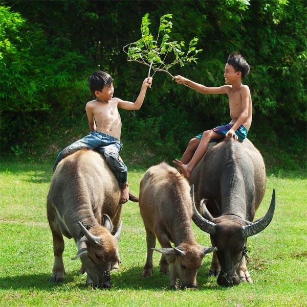 Hình tượng con Trâu gắn liền với cuộc sống của người dân vùng làng quê