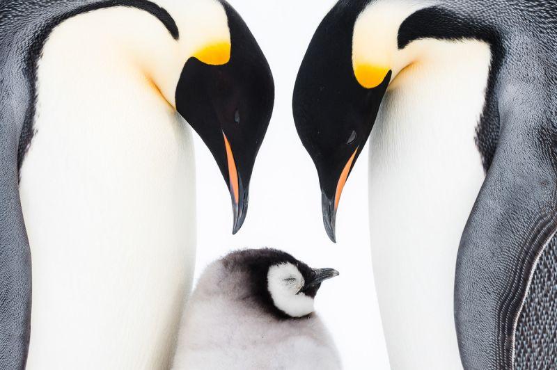 Về Nam Cực, ghé thăm đàn chim cánh cụt hoàng đế