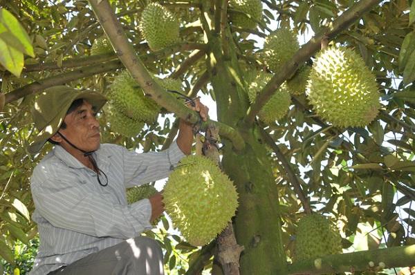 Mã số vùng trồng là điều kiện cần thiết và bắt buộc đối với những thị trường khó tính và là một trong những yếu tố phục vụ cho truy xuất nguồn gốc sản phẩm