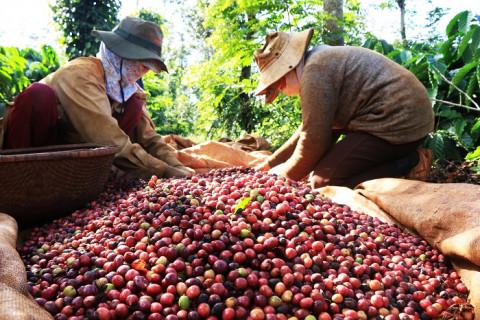 Phát triển sản xuất, chế biến cà phê Việt Nam theo chuỗi giá trị