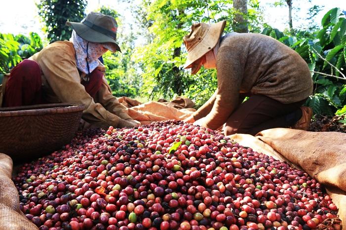 Cần phát triển ngành cà phê Việt Nam theo hướng chuỗi giá trị, tăng cường kết nối sản xuất với thương mại, phát triển thị trường xuất khẩu, phát triển sản phẩm gắn với xây dựng thương hiệu.
