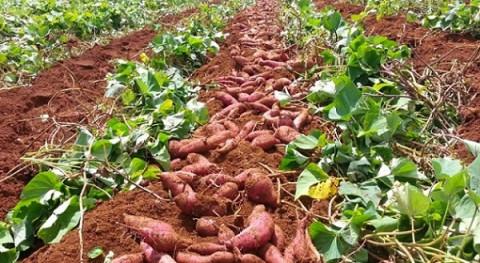 Làm thế nào để khoai lang Việt… lên ngôi xuất khẩu?
