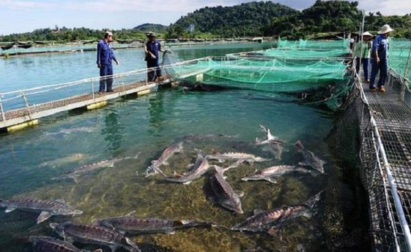 Người nuôi cá tầm ở Lâm Đồng lao đao vì cá nhập lậu