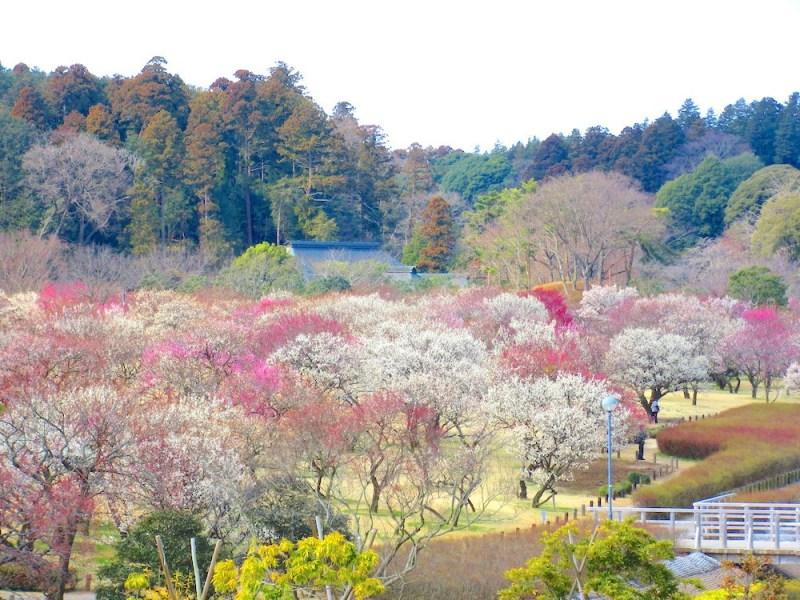 Hoa mơ nhiều màu sắc tuyệt đẹp tại Nhật Bản