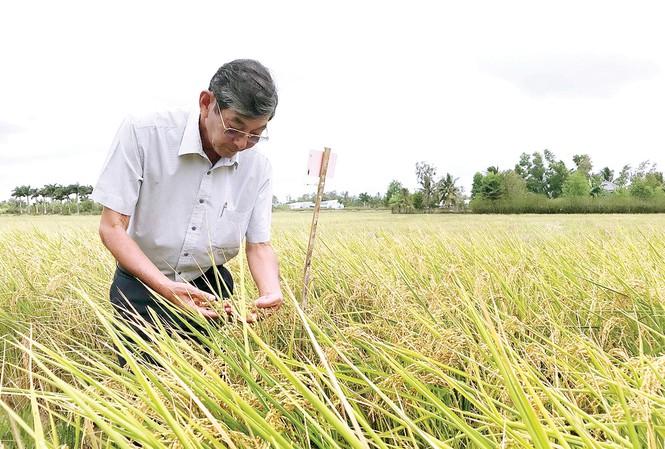 Gạo ST25 hiện nay là loại gạo thuộc dòng lúa thơm ST gồm nhiều giống khác nhau do kỹ sư Hồ Quang Cua.