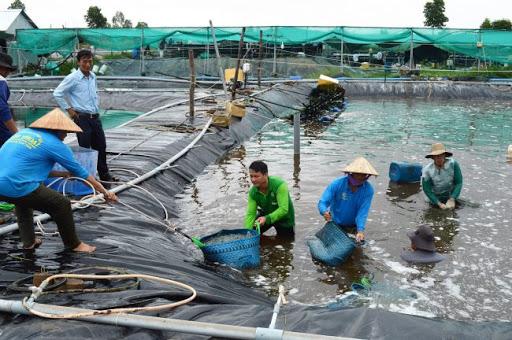 Triển khai nuôi tôm nước lợ an toàn, bền vững ở Kiên Giang