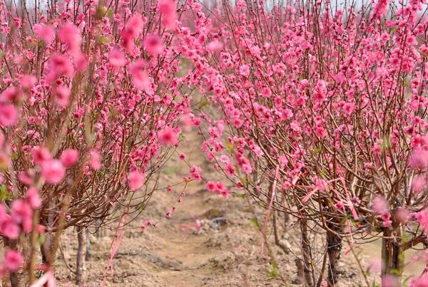 Tết Nguyên Đán 2021 chưng loại hoa nào đẹp và ý nghĩa nhất?