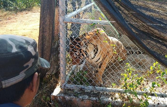 Một con hổ được nuôi theo kiểu bán hoang dã chờ ngày xuất chuồng