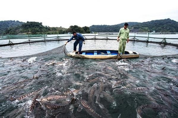 Kiểm soát chặt chẽ việc nhập khẩu cá tầm, đảm bảo nguồn gốc, xuất xứ là một trong những giải pháp hữu hiệu để bào vệ ngành nuôi cá tầm trong nước