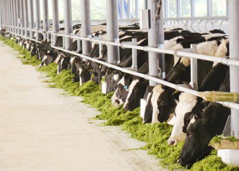 Lâm Đồng lần đầu tiên có vùng chăn nuôi bò sữa ứng dụng công nghệ cao