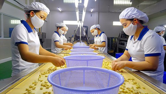 Công nhân kiểm tra hạt điều bóc vỏ tại nhà máy chế biến ở Việt Nam (Ảnh: SGGP).