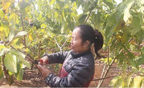 Mai Sơn, Sơn La: Hiệu quả kinh tế cao từ trồng cây na