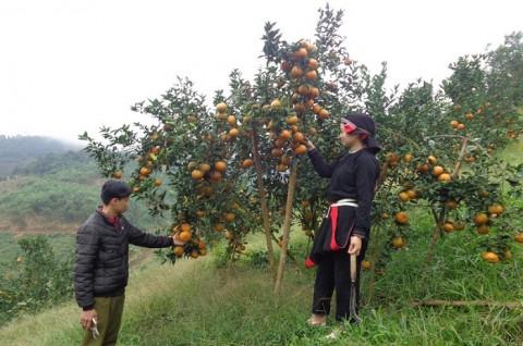 Hà Giang đẩy mạnh việc hỗ trợ phát triển kinh tế bền vững cây cam sành trên địa bàn tỉnh giai đoạn 2021 – 2025