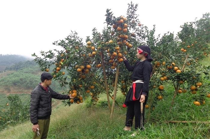Cam sành là cây ăn quả đặc sản của Hà Giang và được trồng tập trung tại 3 huyện Bắc Quang, Quang Bình và Vị Xuyên. Ảnh: Internet
