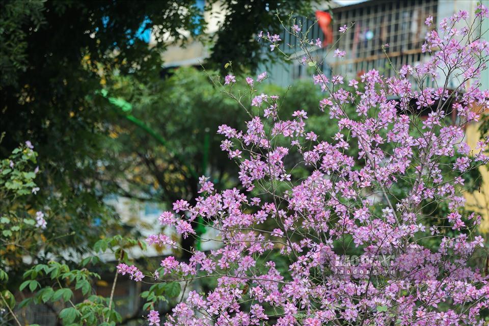 Chùm ảnh Hoa ban Tây Bắc bung nở đẹp nao lòng trên đường phố Hà Nội