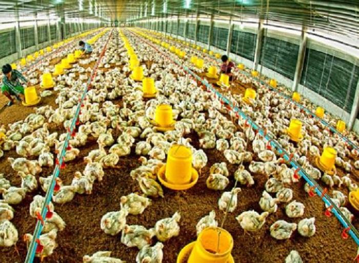 Phát triển thuận lợi, ngành chăn nuôi đặt mục tiêu tăng trưởng 5-6% trong năm 2021 Ảnh: Internet