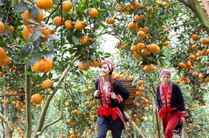 Hỗ trợ phát triển kinh tế vườn hộ và phát triển bền vững cây cam Sành trên địa bàn tỉnh Hà Giang. Ảnh: Internet