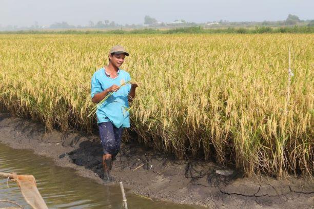 Mô hình tôm-lúa đã góp phần cải thiện đời sống người dân